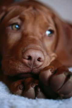 There is nothing like a vizsla. I couldn't imagine my life without my baby!!!!!