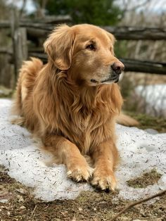 "hitmewithcute: ""My Nala, 7yo golden retriever. Iphone 7plus w/depth effect. """