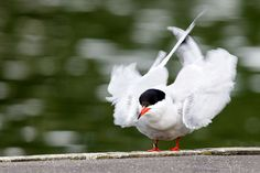 Common Tern | par Unintended_Keith