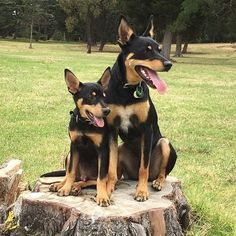 """Just sitting here with my Minnie Me getting our photo taken while wondering the whole time about where the tree has gone.it's got us """"stumped""""? Puppy Breath, Austin Powers, Has Gone, Working Dogs, Best Friends, Super Cute, Puppies, Country, Animals"""