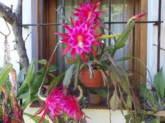 Photo of Orchid Cactus (Epiphyllum 'Pegasus') uploaded by ceci