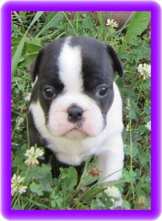 This is the kind of pup I would like to raise...french bulldog/boston terrier mix