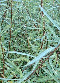 Salix purpurea 'Nana' - Dwarf Arctic Willow
