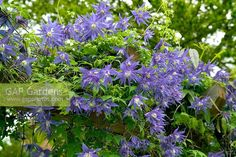 Image result for Clematis Maidwell Hall Clematis, Herbs, Plants, Image, Herb, Plant, Planets, Medicinal Plants