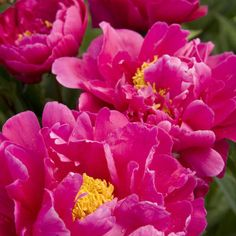 Image result for paeonia karl rosenfield