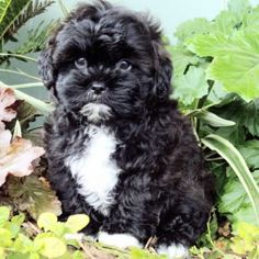 This shih poo is just like my Layla girl with the white chin and white chest! Shih Poo Puppies, Havanese Dogs, Shih Tzu Puppy, Dogs And Puppies, Doggies, Super Cute Puppies, Cute Little Puppies, Cute Dogs, Animals And Pets