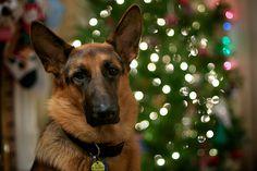 It's a German shepherd Christmas.