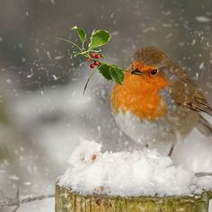 Christmas Robin – birds and gardens go together.
