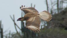 Een vliegende Warawara bij westpunt  Curacao Owl, Bird, Animals, Animales, Animaux, Owls, Birds, Animal, Animais