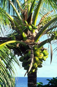 Tree Photography, Tropical Vibes, Coconuts, Cook Islands, Tropical Leaves, Scenery, Plants, Trees, Gardening