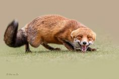 She\'s laughin\' at me... - It seems like she was laughin´ at me....... red fox.....love them...;-)  You have got to love nature and its creations.  Cheers!