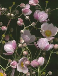 13946 Anemone japonica 500 ~~Anemone japonica by horticultural art~~ Meadow Garden, Dream Garden, Anemone Flower, My Flower, Cactus Flower, Amazing Flowers, Beautiful Flowers, Exotic Flowers, Fresh Flowers