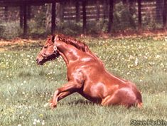 Secretariat Photo Album - Hangin' With Haskin Most Beautiful Horses, All The Pretty Horses, Animals Beautiful, Barrel Racing Horses, Horse Racing, Cute Horses, Horse Love, Thoroughbred Horse, Clydesdale Horses