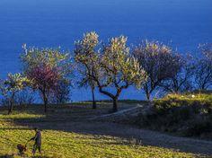 Amandelbomen in bloesem aan de kust van #Benissa vlakbij #Moraira.In de maand februari breekt het voorjaar los aan de #CostaBlanca