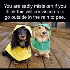 30 Reasons Why You Absolutely Must Have A Dachshund Pup. - Page 23 of 30 - Barmy Pets Cute Puppies, Cute Dogs, Dogs And Puppies, Animals And Pets, Funny Animals, Cute Animals, Animal Funnies, Animal Memes, Funny Animal Pictures