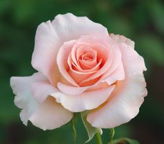 Excellent Images Hybrid Tea Roses pictures Tips Cross tea would be the oldest selection of carnations classified as modern-day yard roses. Rare Flowers, Flowers Nature, Pretty Flowers, Exotic Flowers, Purple Flowers, White Flowers, Rose Reference, Rose Pictures, Growing Roses