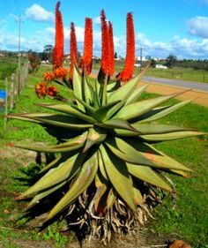 There are a variety of factors that you must give thought to in terms of gardening, so you ought to educate yourself with some handy gardening advice. It can be hard to garden on your own, especially if you are inexperienced. Cacti And Succulents, Planting Succulents, Trees And Shrubs, Trees To Plant, Planting Marigolds, African Plants, Plant Images, Plant Nursery, Cactus Flower