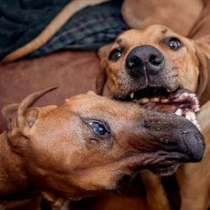 This is how Ridgebacks do weekend brunch. #rhodesianridgeback #projectrr #dog… Rhodesian Ridgeback, Beautiful Dogs, Make Me Smile, Brunch, Instagram Posts, Animals, Cute Dogs, Animales, Animaux