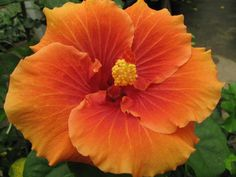 Tahitian Orange Intensity
