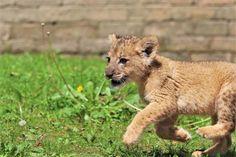 Big Cats, Cute Cats, Pet Lion, Baby Animals, Cute Animals, Rhinos, Hate People, Beautiful Cats, Animal Kingdom