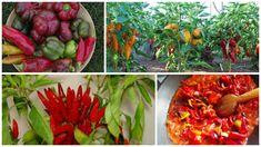 Ardeiul de toate tipurile este frecvent folosit in bucataria autohtona si foarte sanatos. Iata cum sa va ocupati de cultivarea unei gradinite de ardei. Home And Garden, Stuffed Peppers, Vegetables, Food, Gardening, Cottages, Plants, Agriculture, Cabins