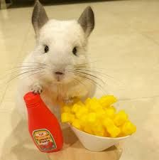 Image result for bubu the chinchilla