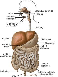 images of el secreto para un vientre plano | sistema respiratório é formado por órgãos que permitem a entrada ...