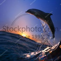 Stock photo of beautiful dolphin jumped from watrer at the sunset time - Beautiful dolphin jumped from sea wave at sunset time Sea Waves, Dolphins, Recycling, Stock Photos, Sunset, Water, Illustration, Outdoor, Beautiful