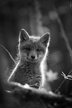fox kit, hello sunshine