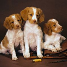 Brittany Spaniel Pups ~ Classic Look