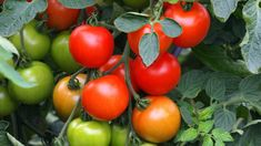 Citronträd – så odlar du citron hemma | Mitt kök Guide, Vegetables, Food, Veggies, Vegetable Recipes, Meals, Yemek, Eten