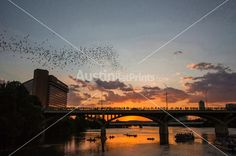 In this image, A spectacular dramatic bright orange sunset finds 1.5 million Congress Avenue Bridge bats soaring into the Austin sky at sunset. The Ann W. Richards Congress Avenue Bridge spans Town Lake in downtown Austin and is home to the largest urban bat colony in North America. The colony is estimated at 1.5 million Mexican free-tail bats. Each night from mid-March to November, the bats emerge from under the bridge at dusk to blanket the sky as they head out to forage for food. This…