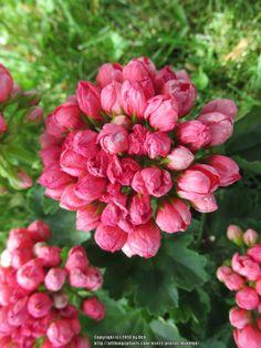 Pelargonium X Hortorum Geranium Flower | Photo of Tulip Flowered Geranium (Pelargonium x hortorum 'Pandora ...