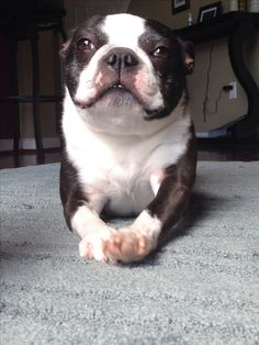 Hello my beautiful baby!! Boston Terrier