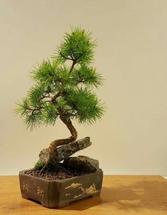 Hoy domingo estaremos abiertos  en BONSAIKIDO de 10:00 a 14:00. www.bonsaikido.com , tu escuela de #bonsai en #Madrid. Foto: pino blanco japonés de tamaño shohin.