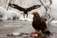 Feast of the East - Alexey Bezrukov - BBC Wildlife Photographer of the Year 2013: Behaviour: Birds - Commended