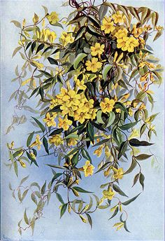 South Carolina State Flower: Yellow Jessamine