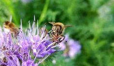 Bijen, hommels en zweefvliegen. Een enorme drukte op de Phacelia vandaag!