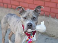 Brooklyn Center  JORDAN - A1030845 **SAFER: AVERAGE HOME**  SPAYED FEMALE, BR MERLE / WHITE, AM PIT BULL TER MIX, 4 yrs OWNER SUR - EVALUATE, HOLD RELEASED Reason NO TIME https://www.facebook.com/photo.php?fbid=981595515186661