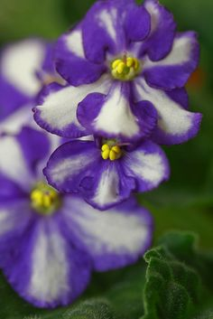 African Violet. I had some of these once. But they died, of course.