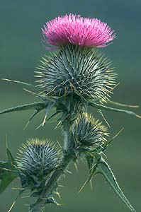 There is a legend which relates how a sleeping party of Scots warriors were almost set upon by an invading band of Vikings and were only saved when one of the attackers trod on a wild thistle with his bare feet. His cries raised the alarm and the roused Scots duly defeated the Danes. In gratitude, the plant became known as the Guardian Thistle and was adopted as the symbol of Scotland.(Great story!)