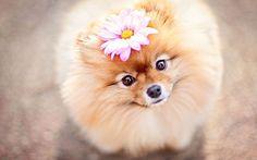 Flint the Pomeranian