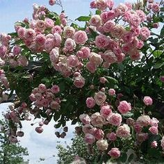 klimroos 'Frau Eva Schubert' (1937). Pergola roos. Herbloeiend. Vraagt weinig zorgen, mits tijdig knippen van uitgebloeide bloemen en wat extra voeding blijft deze roos een heel seizoen doorbloeien met goed gevulde rozen tot witte bloemen. H 2-4m.