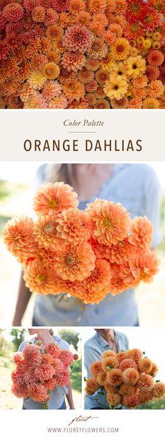 Floret's favorite dahlias in orange hues include: Maarn, Hy Suntan, Jomanda, Bedhead, Valley Rust Bucket, Beatrice, David Howard, Moonlight Sonata, Amber Queen, Hamari Gold, Punkin Spice, Ginger Willo, Kenora Lisa.