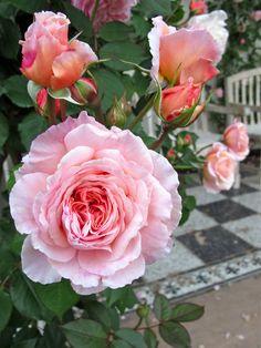 A Shropshire Lad Rose   English rose gallery: Rosa 'A Shropshire Lad'