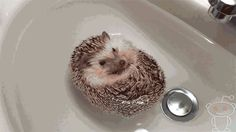 Q: But do they float? | 15 Things You Always Wanted To Know About Hedgehogs But Were Afraid To Ask