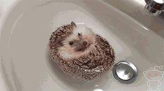 I want a pet hedgehog