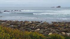 Sea Lions in Big Sur California