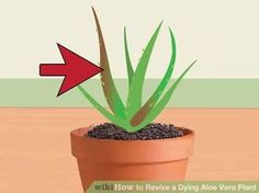 Image titled Revive a Dying Aloe Vera Plant Step 11