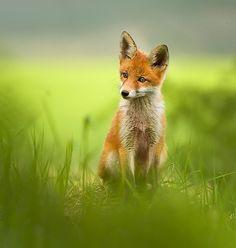 Fox Kit by Ivan Godál